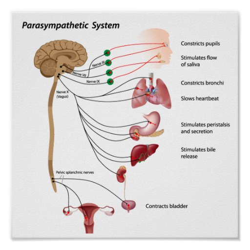 Parasympathetic pathway of the ANS Poster