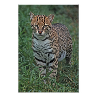 Pardalis) de Leopardus del OCELOT AMERICA CENTRAL Póster