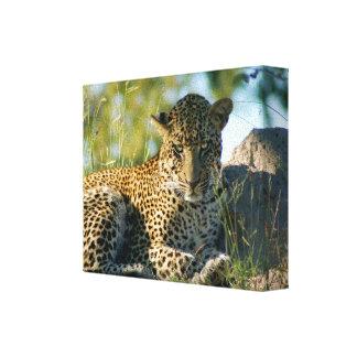pardus de reclinación Kruger del panthera del leop Impresion En Lona