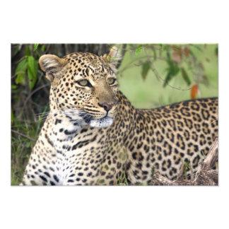 Pardus) del Panthera del leopardo que descansa, Ma Impresiones Fotograficas