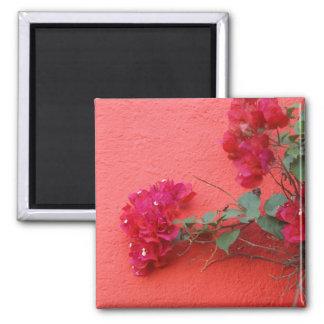 Pared rosada, Bougainvillea rosado Imán Cuadrado
