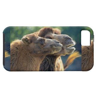 Pareja de camello, retrato de cabeza, primer plano