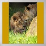 Pares adorables del león de los animales africanos poster