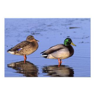 Pares Canadá, Norteamérica del pato silvestre Fotografía