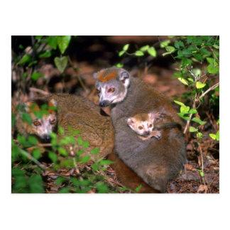 Pares coronados del Lemur con el niño Postal
