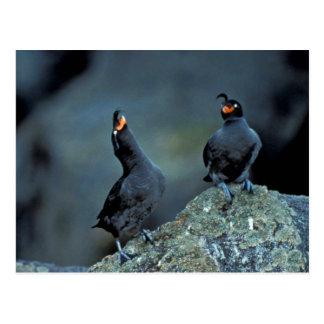 Pares de auklets con cresta en la isla de Kiska Postal