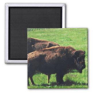 Pares de búfalos iman de nevera