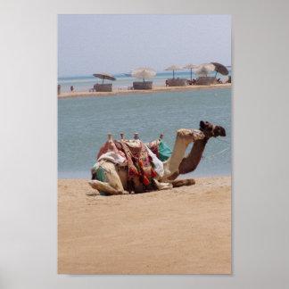 Pares de camellos tradicionales que se sientan en  posters