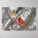 Pares de cardenales septentrionales póster