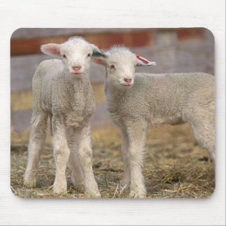 Pares de corderos comerciales de Targhee Alfombrillas De Ratones