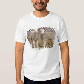 Pares de corderos comerciales de Targhee Camisas