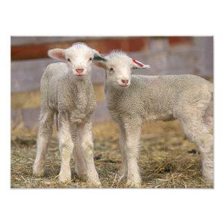 Pares de corderos comerciales de Targhee Fotografías
