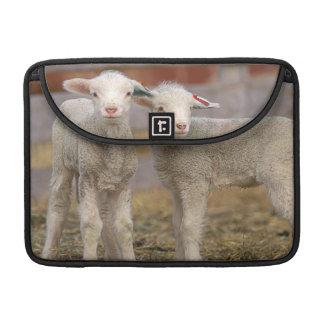 Pares de corderos comerciales de Targhee Funda Para Macbooks