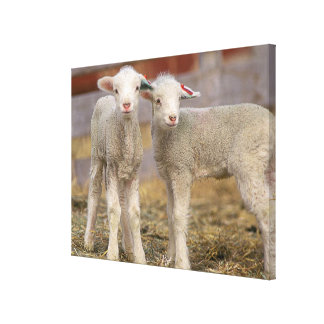 Pares de corderos comerciales de Targhee Impresiones En Lienzo Estiradas