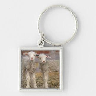 Pares de corderos comerciales de Targhee Llaveros
