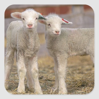 Pares de corderos comerciales de Targhee Pegatina Cuadrada