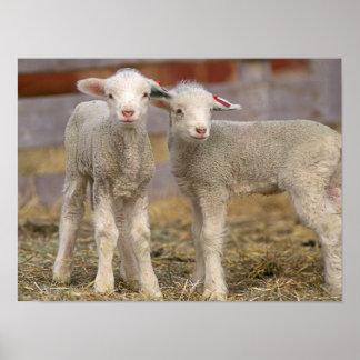 Pares de corderos comerciales de Targhee Póster