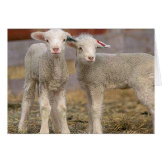 Pares de corderos comerciales de Targhee Tarjeta De Felicitación