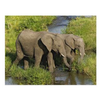 Pares de elefantes africanos que alimentan, Masai Postal