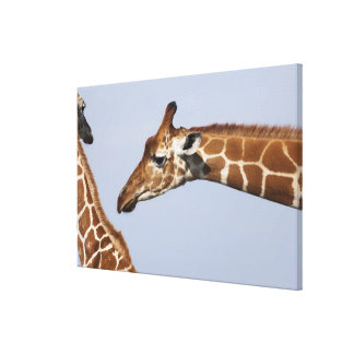Pares de jirafas reticuladas (Giraffa Lona Envuelta Para Galerías