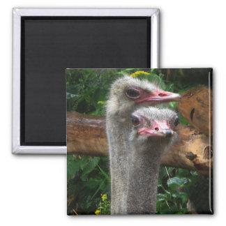 Pares de la avestruz imán cuadrado