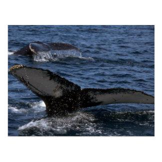 Pares de la ballena jorobada tarjetas postales