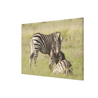 Pares de la cebra de los llanos (quagga del Equus) Impresión En Lienzo
