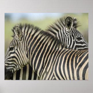 Pares de la cebra de los llanos (quagga del Equus) Posters