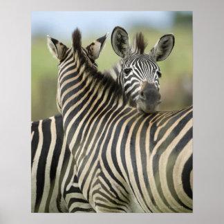 Pares de la cebra de los llanos (quagga del Equus) Poster