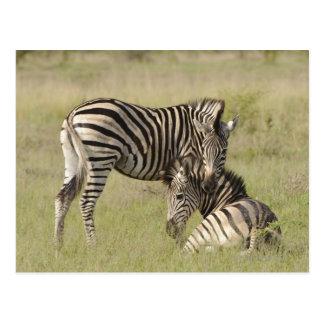 Pares de la cebra de los llanos (quagga del Equus) Postal