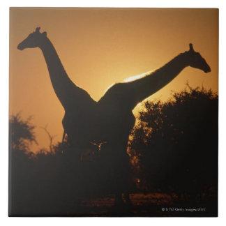 Pares de la jirafa (camelopardalis del Giraffa) Azulejo Cuadrado Grande