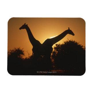 Pares de la jirafa (camelopardalis del Giraffa) Imanes Rectangulares