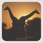 Pares de la jirafa (camelopardalis del Giraffa) Calcomanías Cuadradass Personalizadas