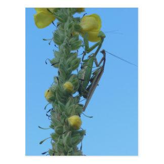 Pares de la mantis religiosa en la planta del sabi postal