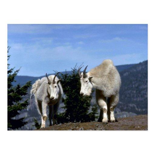 Pares de las cabras de montaña rocosa (niñera en i postal