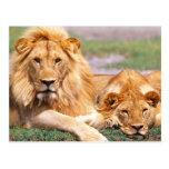 Pares de leones africanos, Panthera leo, Tanzania Tarjetas Postales
