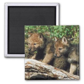Pares de lobo Cubs Imán Cuadrado