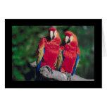 Pares de Macaws rojos Felicitaciones