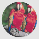 Pares de Macaws rojos Pegatina Redonda