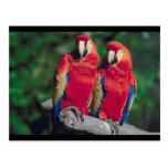 Pares de Macaws rojos Postal