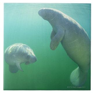 Pares de manatees de la Florida que nadan Azulejo Cuadrado Grande