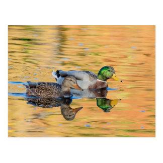 Pares de patos silvestres postales