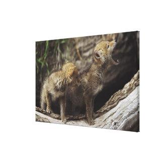Pares de perritos jovenes del coyote que gritan lona estirada galerías
