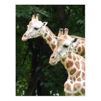 Pares de postal de las jirafas