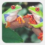 Pares de Red Eye Treefrog, callidryas de Agalychin Pegatinas Cuadradases Personalizadas