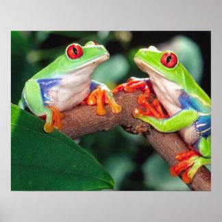 Pares de Red Eye Treefrog, callidryas de Agalychin Póster