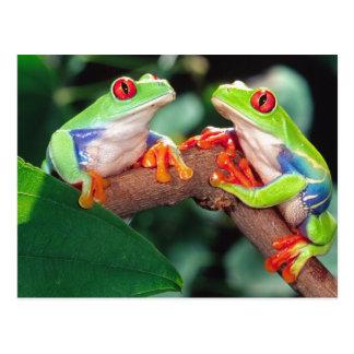 Pares de Red Eye Treefrog, callidryas de Agalychin Tarjeta Postal