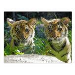 Pares de retrato de Cubs de tigre Tarjeta Postal