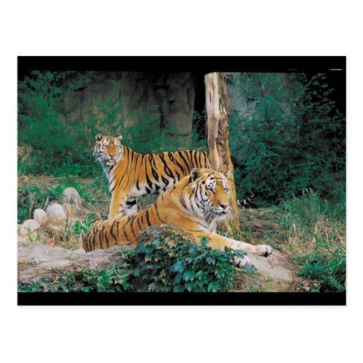 Pares de tigres tarjeta postal