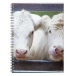 Pares de vacas blancas jovenes en el remolque de a cuadernos